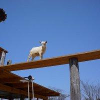 коза :: Slava Hamamoto