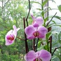 Орхидея у моей подруги! :: Ирина