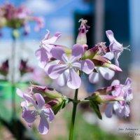 Нежный цветок :: Валерий Тахмазов