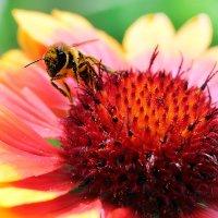 пчелка Майя :: виктор омельчук