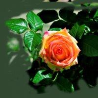 роза :: Юрий