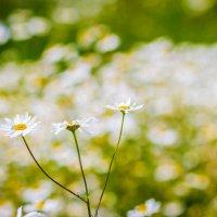 Цветы, ромашка :: Екатерина Буслаева Буслаева