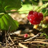 raspberry :: Ирина К
