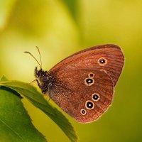из жизни бабочек :: Александр Шурпаков