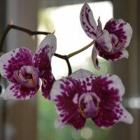Орхидея :: Диана Устименко