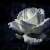 Роза :: Андрей Качин