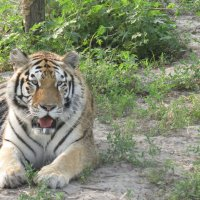 тигр 2 :: татьяна Филатова