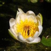 Цветок кувшинки :: Денис Матвеев