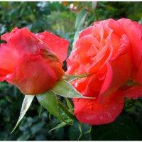 Красота после дождя... :: Тамара (st.tamara)