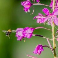 пчела Майя :: Аркадий Алямовский