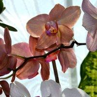 Орхидеи :: Наталия Лыкова