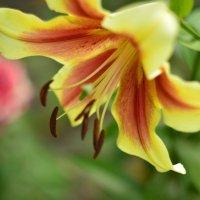 Лилия,цветок :: Михаил Bobikov