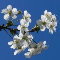 Ветка вишни в расцвете сил :: Николай Сапегин