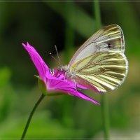 Бабочка на герани... :: Андрей Медведев