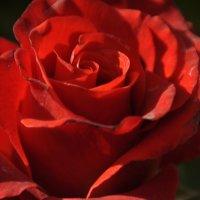 Роза :: Владимир Бардин