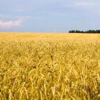 Пшеничное поле :: Александр Фролов