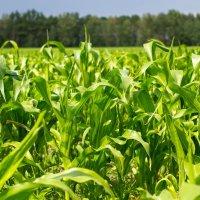 Кукурузное поле :: Александр Фролов