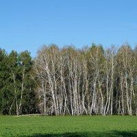 Нашествие гусениц на омские леса :: Алексей Масалов