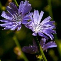 Полевые цветы самые красивые :: Ольга Семенова