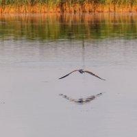 Чайки на Шумилинском озере. 03. :: Анатолий Клепешнёв