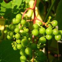 Будущее вино :: Алексей Денисов
