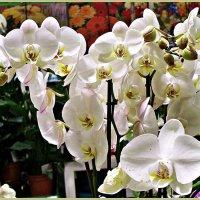 Белые фаленопсисы. :: Валерия Комова