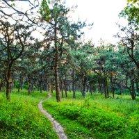 Сосновый лес :: Антон Таран