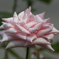 . . тоже роза :: Борис
