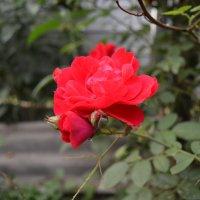 роза :: Светик Ногих