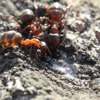 муравьи :: Ольга Анянова