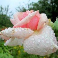 Летние розы и дождь... :: Тамара (st.tamara)