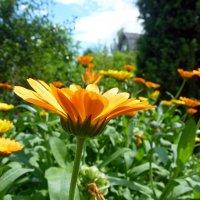 Оранжевое лето :: Наталья (Nattina) ...