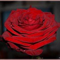 Алая роза :: mila
