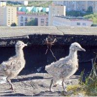 Пин и Гвин :: Кай-8 (Ярослав) Забелин