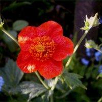 Аленький Цветочек.. :)  Май :: Лариса Каражаева