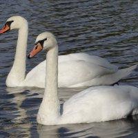 Лебеди :: Роман