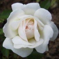 роза  Swany :: lenrouz