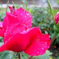 Летний дождь и розы... :: Тамара (st.tamara)