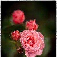 Розовые розы :: Leo Alex Photographer