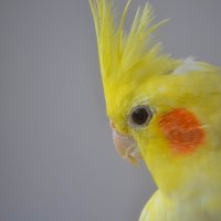 Попугай Каша :: Amana Sakura