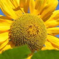 Подсолнух - одно из самых солнечных растений на земле :: Вадим Поботаев