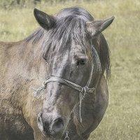 Цыганская лошадь. :: Lidija Abeltinja