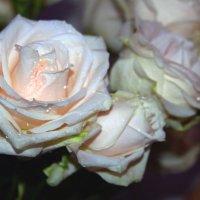 Розы :: Алла ZALLA