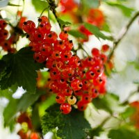 Красная смородинка :: Ирина Шарапова
