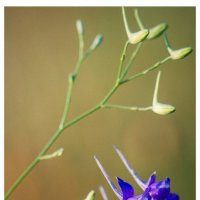 Цветы :: Ivan teamen