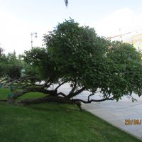 Стел. дерево :: раиса Орловская