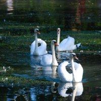 Лебеди :: Татьяна Котова