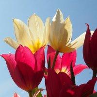 Дикие тюльпаны на второй день :: Николай Сапегин