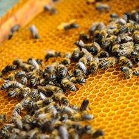 Пчелиная жизнь :: Михаил Васильев