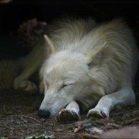Полярный волк :: Татьяна Кретова